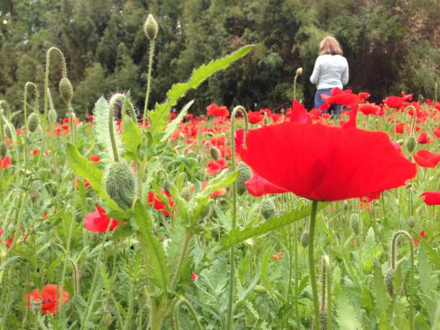 photo_%2839%29_tricia_poppies_lr.jpg